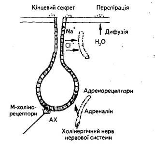 Схема регуляции секреции потовой железы