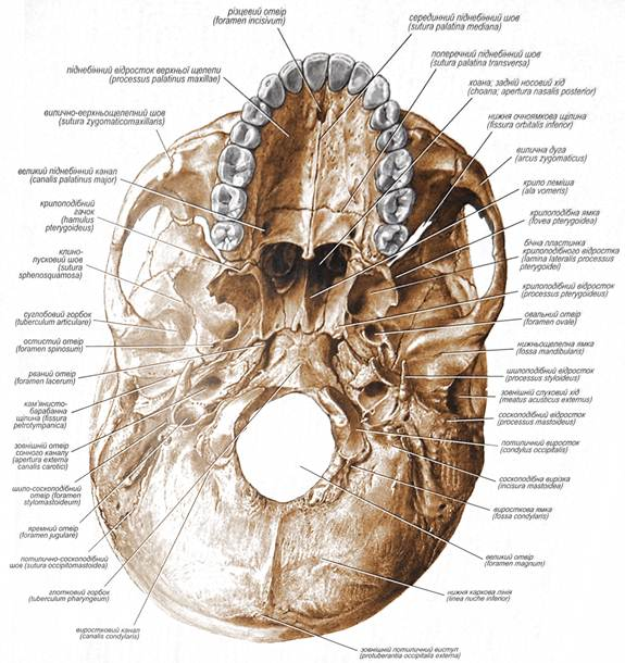 основание черепа анатомия в картинках поселениях