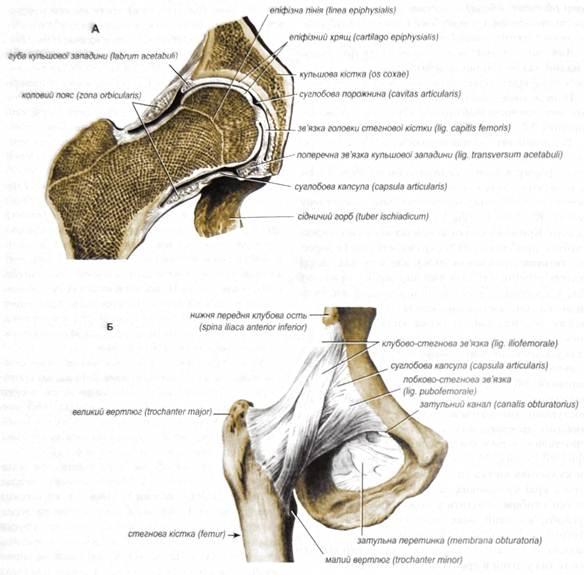 Соединения костей свободной нижней конечности коленный сустав коксартроз тазобедренного сустава способы лечения