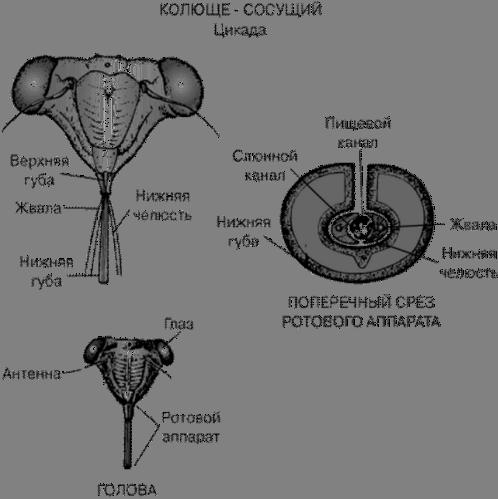 Колюще - сосущий ротовой аппарат