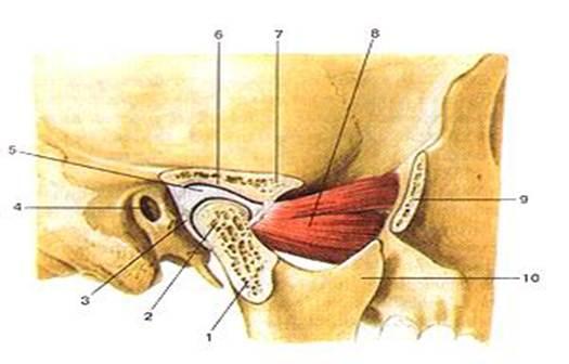 Суставная капсула челюсти лфк для тазобедренного сустава