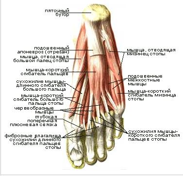 Таранно пяточно ладьевидный сустав движения