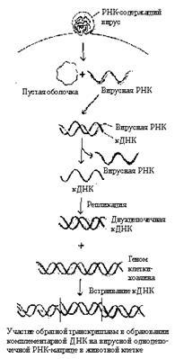 Две одинаковые одноцепочечные молекулы рнк содержит вирус гриппа