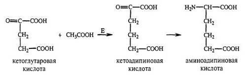 Образование L--аминоадипиновой кислоты