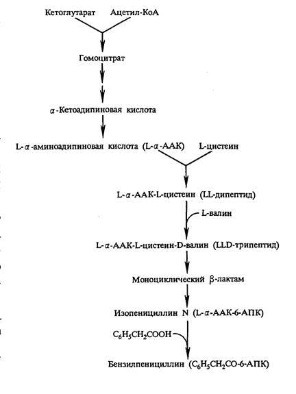 Схема биосинтеза пенициллина 6-аминопенициллановой кислоты