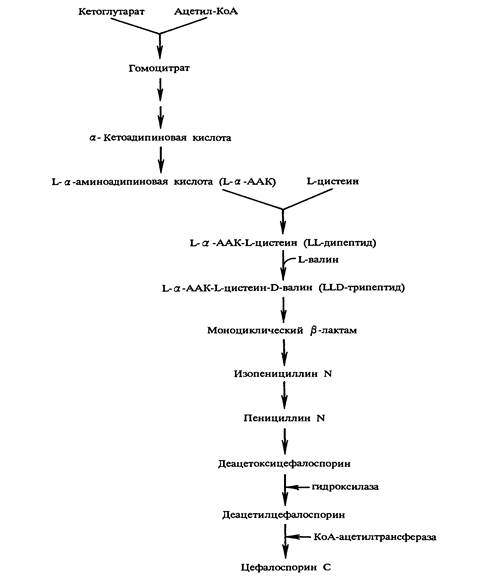 Схема биосинтеза цефалоспорина С