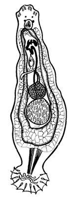 Из яйца сосальщика попавшего в воду вылупляется