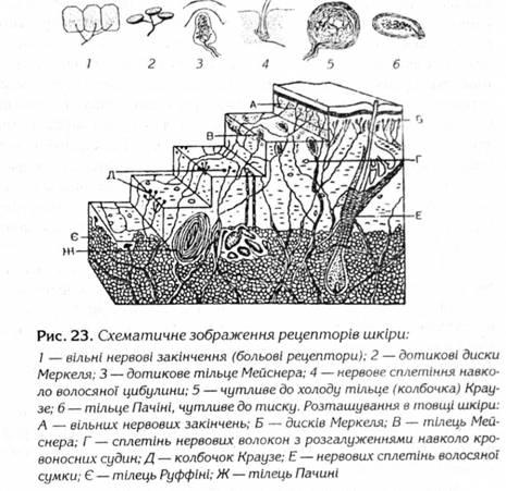 Схематическое изображение рецепторов кожи