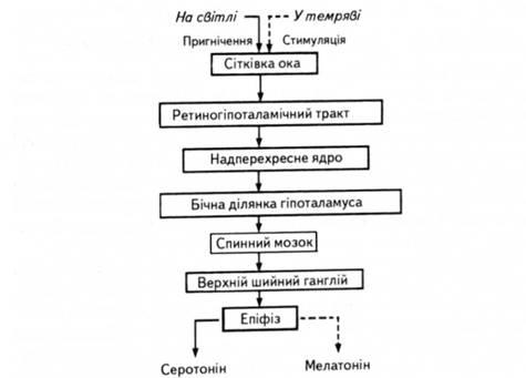Связь эпифиза с сетчаткой