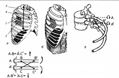 Схема дыхательных движений во