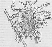ОТРЯД «ВШИ» (ANOPLURA) - Медицинская арахноэнтомология