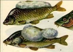 в водоеме рибу порожает грибок чем лечить отправлению погруженные