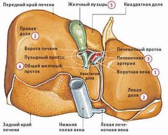 воротная вена печени и ее заболевания