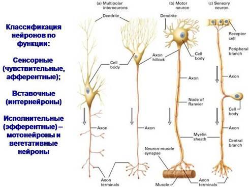 Классификация нейронов с рисунками