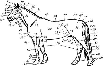 Экстерьер животного методы оценки